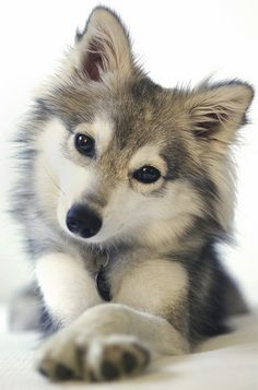 "Cute Wolf | Whats up?"" Cute curious wolf kid eyes"
