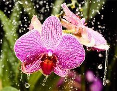 If you often wonder: how should I water my Phalaenopsis? How much water should I give my Dendrobium? �How often should I water my orchids? �This article is what you need!! When we talk about the adequate watering for our�