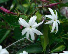 Jasminum nitidum - Angel Wings Jasmine