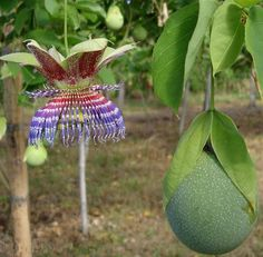 Passiflora maliformis is native to the Caribbean, Cntral America and Northern South America