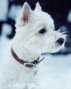 Westies love the snow