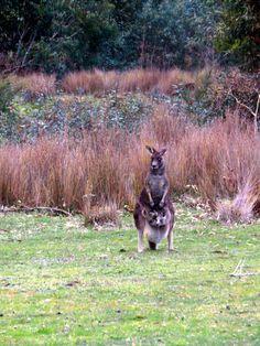 Grampians National Park #grampians #kangaroos