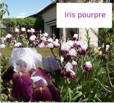 Iris à grandes fleurs pourpre et mauve