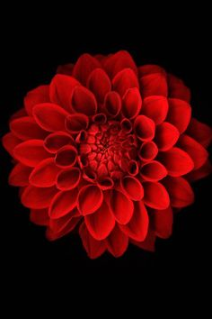 Chrysanthemum - birth flower for November