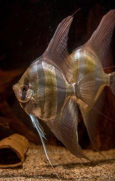 Angel fish byKarlheinz Jakob