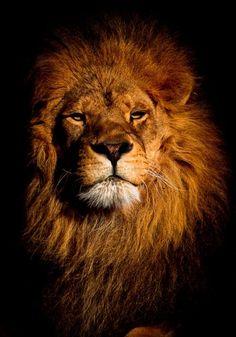 #lion #Not.Human