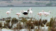 Zoologische Rarität Soldaten entdecken schwarzen Flamingo auf Zypern