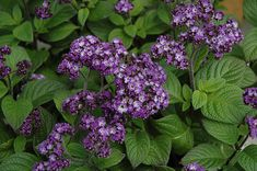 Click to view full-size photo of Fragrant Delight Heliotrope (Heliotropium arborescens 'Fragrant Delight') at The Growing Place