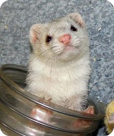 Today's Five O'Clock Cuteness is Daisy Sue, an adoptable ferret in Oregon City, OR. She is a lovely silver panda color and is very social with other ferrets. She is strong and goofy and loves to play.     For more info on Daisy Sue, please visit her Adopt-a-Pet.com profile: http://www.adoptapet.com/pet/7287128-oregon-city-oregon-ferret