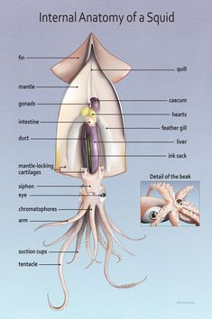 anatomy of a squid on behance - 28 images - cephalopod anatomy class on behance, squid external anatomy labelled manandmollusc net, anatomy of a squid by meg sodano via behance squid, dress up squid octopus on behance, anatomy of a squid on behance Ocean Unit, Biology Lessons, Deep Sea Creatures, Animal Science, Medical Illustration, Digital Illustration, Veterinary Medicine, Animal Facts, Marine Biology