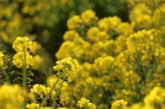 春を告げる菜の花 富津市近藤