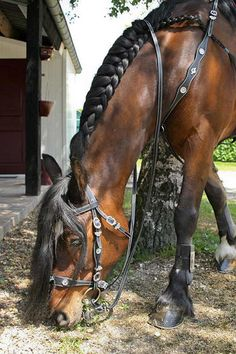 Portuguese bridle and breast collar
