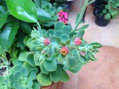 Flor de suculenta Siempreviva. Julio