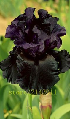 Raven Girl Black Iris This Jet-Black Iris Is The Latest Addition To A Sixty-Three Year Line Of Dark Breeding, Delightful Bouncy Ruffles Grace The Petals And Each Stem Yields A Magnificent Buds On Three Branches Plus A Spur Schreiner's Iris Gardens Iris Flowers, Black Flowers, Exotic Flowers, Beautiful Flowers, Flowers Today, Summer Flowers, Iris Garden, Garden Plants, House Plants