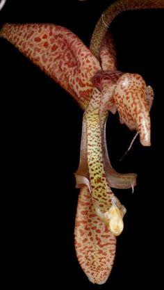Gongora maculata