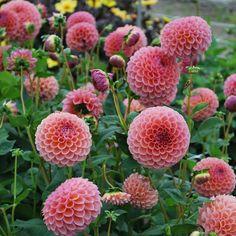 Dahlia 'Jowey Winnie' - Rose Cottage Plants