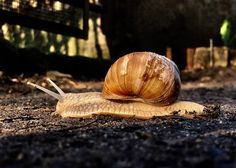This morning our paths crossed on our ways to work. How long does a snail commute?