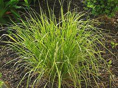 Calamagrostis 'Eldorado'