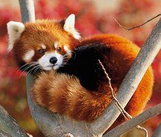 The Beautiful Red Panda