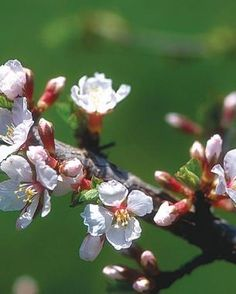"""Nanking Cherry from """"Plants that Taste as Good as they Look 