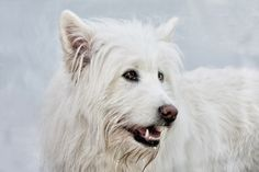 White ELO - ELO . . . a dog breed I've never seen before or heard about it, but they are very nice and cool dogs