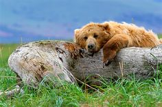 Life's a Bear - Brown Bear