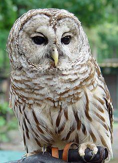 Google Image Result for http://www.freewebs.com/journey2hogwarts/barred_owl_3_002-07-10.jpg
