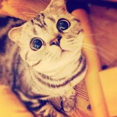 Any minute now this cats huge saucer eyes will start hypnotizing yah... This Cat Wins The Internet