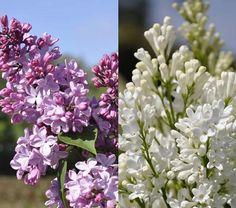Preston Lilac Syringa Prestoniae Agnes Smith & Lilac hybrid Syringa X Hyacinthiflora Esther Staley