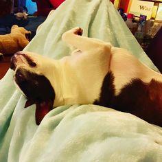 Negi❤︎ …もしも〜し😳 だいぶのけぞってますよ😅 白目ですよ💦 爆睡してるけど💤息してますかぁ〜😭 #ボストンテリア #bostonterrier #ボステリ #愛犬 #dog #ボストンテリアbostonterrier #白目 #変な寝方 #爆睡 #もしもし #白黒 #curepetcancer 😋