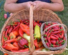 Papriková nátierka Saba (fotorecept) - recept | Varecha.sk Ale, Carrots, Stuffed Peppers, Vegetables, Food, Red Peppers, Ale Beer, Stuffed Pepper, Essen