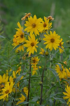 Helianthus maximiliani - Maximilian's Sunflower: Available at Prairie Moon Nursery Yellow Perennials, Flowers Perennials, Planting Flowers, Perennial Sunflower, Perennial Plant, Yellow Flowers, Wild Flowers, Prairie Garden, Gardens