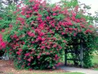 Bougainvillea- great for containers-needs full sun! perfect for side deck