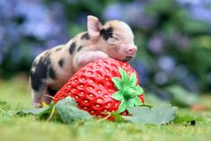 """""""Look I'm Sleeping On A Strawberry"""" 