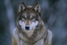 Why We're So Divided Over Saving Wolves