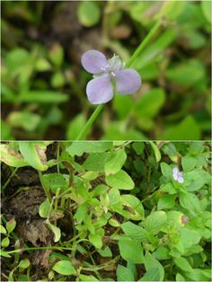 Dew flower - Murdannia Nudiflora