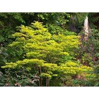 Japanse esdoorn (Acer shirasawanum 'Aureum')