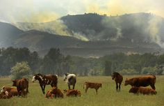 Horses and cattle in pasture in Colorado fire, near Laporte. 2012