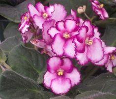 gardening tips: pink african violets
