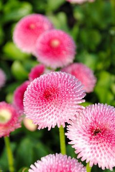 English Daisy for my Pink Garden Amazing Flowers, My Flower, Pink Flowers, Beautiful Flowers, Blooming Flowers, Beautiful Gorgeous, Colorful Flowers, Pink Garden, Colorful Garden