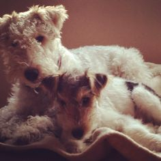 Fox terrier mom and baby cuddle
