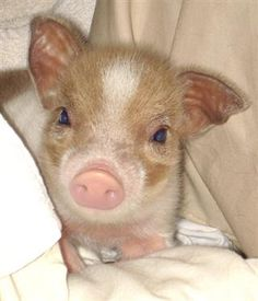 Teacup pig....I will squeeze him and hug him and love him! I will call him George!!! LOL