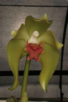 """Une fleur d'""""Orchidée""""....Sudamerlycaste cinnabarina"""