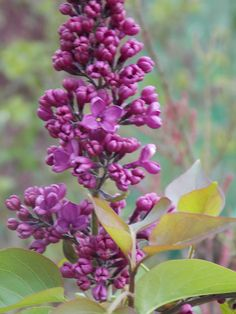 Lilac 'Charles Joy' – French Hybrid.  Fragrant, double, magenta flowers bloom in May. H 8-12' W 8'
