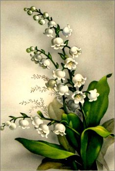 Vintage-Postcard-Early-flowers-postcard-Muguet-Porte-Bonheur( in every corner of our memories are windows of light . Step in it for a minute and know You are Blessed ❤ :) Art Floral, Floral Prints, Botanical Illustration, Botanical Prints, Vintage Pictures, Vintage Images, Vintage Cards, Vintage Postcards, Azulejos Art Nouveau
