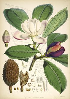 This is a stunning collection of Magnolia Flower Images! Included are Pink and White Magnolia Botanical Pictures, ready to print and frame. Vintage Botanical Prints, Botanical Drawings, Botanical Art, Botanical Gardens, Vintage Prints, Art And Illustration, Free Illustrations, Victorian Illustration, La Quina