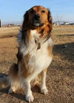 Old Time Scotch Collie - Kendrick