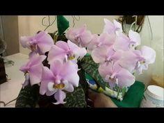 Cultivando Orquídeas sem Substrato-  Adubação com Osmocote 14 14 14  e Peters Floração - YouTube