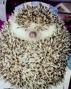 Cute Little Animals, Cute Funny Animals, Funny Cute, Funny Dogs, Cute Cats, Big Cats, The Funny, Cute Hedgehog, Cute Animal Videos