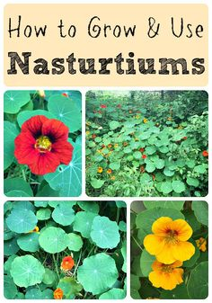 Companion Planting How to Grow and Use Nasturtiums as both a companion plant, food source, and herb! - Nasturtiums are easy to grow and are edible, medicinal, and great for your garden. Find out how to grow and use nasturtiums. Edible Plants, Edible Flowers, Edible Garden, Growing Tomatoes In Containers, Organic Gardening Tips, Growing Herbs, Companion Planting, Plantation, Organic Vegetables